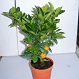 Cross Common Nursery Citrus Orange 'Calamondin' starter plant