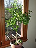 Key Lime Tree Seeds - Citrus Fruit - MEDICINAL BENEFITS - House Plant - 10 Seeds