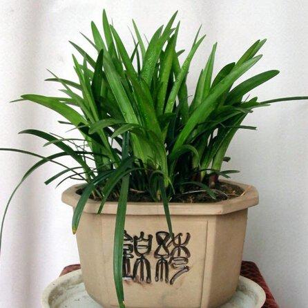 50pcs-bonsai-da-interno-evergreen-erbe-piante-ornamentali-liriope-semi-semi-paesaggistica-scimmia-er