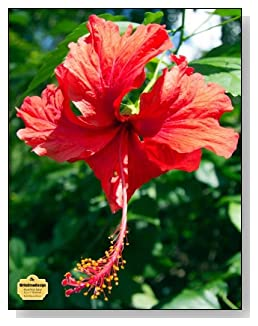 Red Hibiscus Flower Notebook - For flower and nature lovers! A beautiful red hibiscus fills the cover of this blank and wide ruled notebook with blank pages on the left and lined pages on the right.