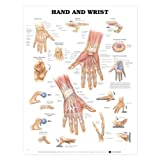 Hand & Wrist Anatomical Chart