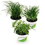 Pflanzen Set für Katzen - 2x Katzengras, 2x Katzenminze, 2x...