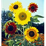David's Garden Seeds Sunflower Formula Mix SUN133IT (Multi) 100 Open Pollinated Seeds