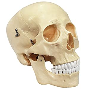 Budget Life-Size Skull from Anatomical Chart Company
