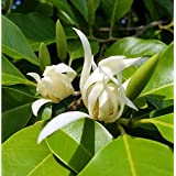 10 Seeds Magnolia x alba White Champaca Ornamental Tree