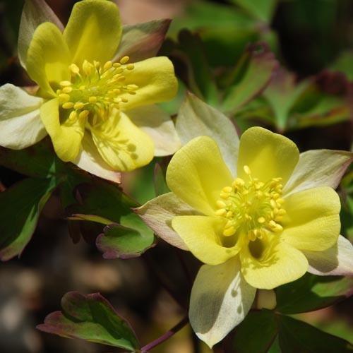 aquilegia-sunbeams-seeds