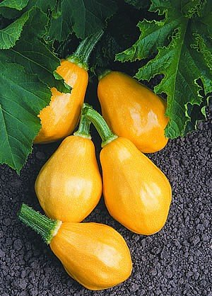 Buy Papaya Pear Squash 10 Seeds -ALL AMERICAN AWARD WINNER – FREE SHIPPING ON ADDITIONAL HIRTS SEEDS ORDERED AND PAID WITH ONE PAYMENT