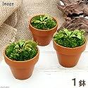 (食虫植物)ミニ食虫盆栽 ver.ハエトリソウ(1鉢) 本州・四国限定[生体]