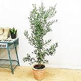オリーブの木 テラコッタ鉢植え 観葉植物 庭木 鉢植え ガーデニング インテリア 大型