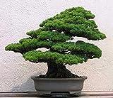 ミレニアム植物、種子30粒/ロット五葉の松の種鉢植え風景五針松盆栽箱庭の種子