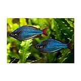 (熱帯魚・レインボーフィッシュ)ネオンドワーフレインボー 10匹