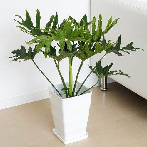 フィロデンドロン・セローム プラスチックスクエア鉢植え