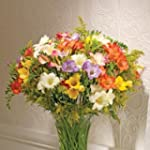40 Mixed Guernsey Freesias - FLOWERS...