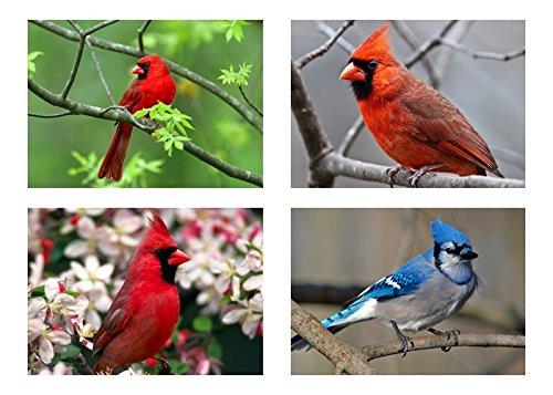 4 - Cardinal / BlueJay - Birds 5x7 PhotoS - 5
