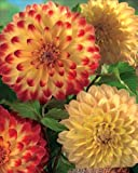 Dahlia 'Decorative Yellow-Red/Yellow' (Dahlia Duo Collection Yellow and Red) 3 tubers