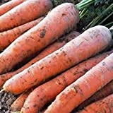 Search : Heirloom Organic Scarlet Nantes Carrots, 100 Seeds by Sow No GMO