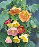 **CHINESE BELL FLOWER - ABUTILON HYBRIDUM - SO COLOURFUL - 10 SEEDS