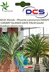 DCS(052) 3 Phoenix canariensis HARDY CANARY ISLANDS DATE PALM Seeds