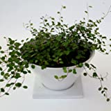 【Vita】観葉植物 ワイヤープランツ シャープカラードポット(ホワイト)