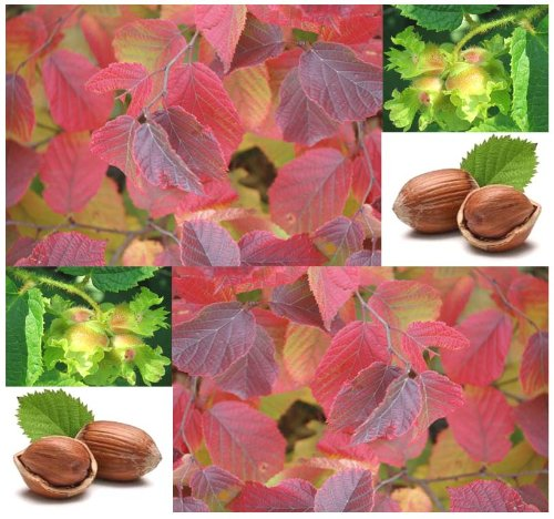 10 X American Hazelnut - Filbert Corylus Americana Seed Seeds - Edible Nuts - Cold Hardy Zone 4 - 9 - By Myseeds.Co
