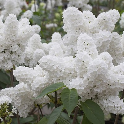 25-white-japanese-lilac-seeds-extremely-fragrant-free-shipping