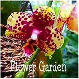 Bonsai Balcony Flower Butterfly Orchid Seeds Phalaenopsis Orchids -10 Pcs Seeds Beautiful Garden,#MU8XYX 7