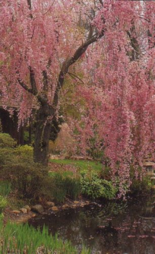 Weeping Cherry Tree - 3 to 4 ft tall, branched, pink blooms - Buy Weeping Cherry Tree - 3 to 4 ft tall, branched, pink blooms - Purchase Weeping Cherry Tree - 3 to 4 ft tall, branched, pink blooms (Herter Nursery, Home & Garden,Categories,Patio Lawn & Garden,Plants & Planting,Outdoor Plants,Trees)