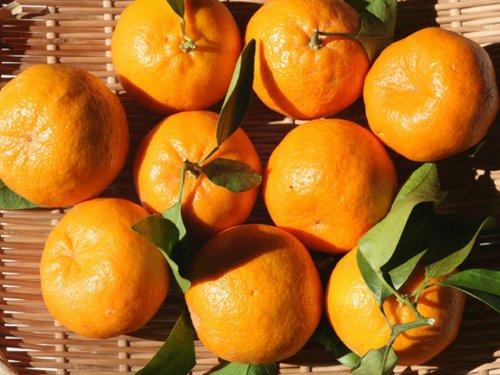 【6か月枯れ保証】【秋に収穫する果樹】ポンカン/早香 15cmポット 5本セット