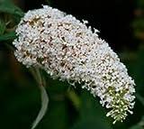 """Buzz Ivory (Dwarf) Butterfly Bush Plants (4"""" Pots)"""