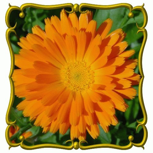 Calendula-Wildflower