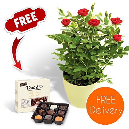 fresh-flowers-delivered-delivery-included-potted-red-rose-bush-with-chocolates-and-flower-food-bonus