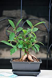 9GreenBox - Live Ginseng Ficus Bonsai Tree Bonsai - Small Ficus Retusa - Water Tray & Fertilizer Gift