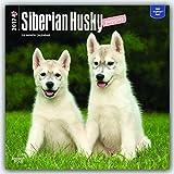 Siberian Husky Puppies 2017 Square