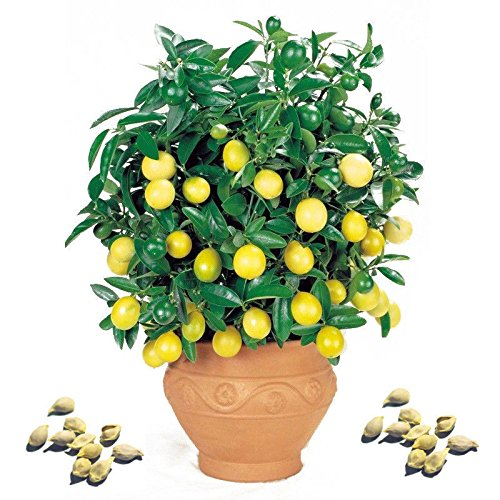 100 Pcs/ Rare Lemon Tree Seed Indoor Outdoor Heirloom Fruit Plant Seeds Home Garden (Growing Dwarf Fruit Trees compare prices)