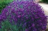 Lavender angustifolia 'Hidcote' herb shrub plant in a 12cm pot.