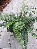 Polystichum polyblepharum - Japanischer Schildfarn