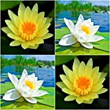 (Combo Of 2 Colors) Floral Treasure YELLOW & WHITE Lotus Seeds - Pack Of 10