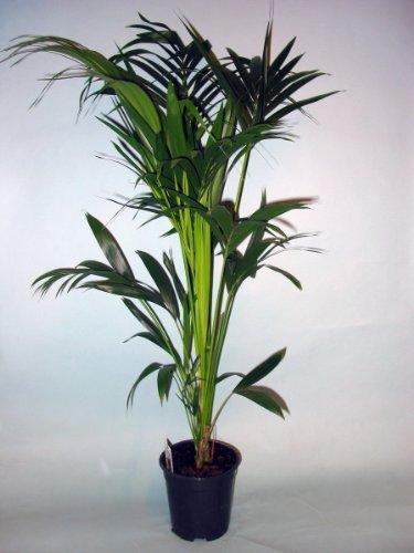 kentia palme kaufen und pflege tipps. Black Bedroom Furniture Sets. Home Design Ideas
