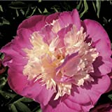 Pivoine Gay Paree