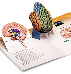 Psychology-three-dimensional Brain