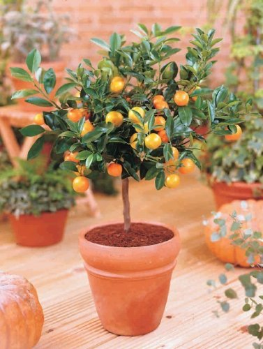zwerg-orangenbaum