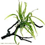 (水草)おまかせミクロソリウム付 枝状流木 Mサイズ(約20~25cm)(無農薬)(1本) 本州・四国限定[生体]