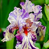 Iris germanica Peach Jam - 1 plant