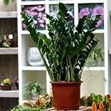 Zamia Palme Zamioculcas zamiifolia 70-80 cm