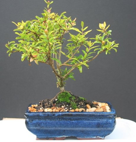 Bonsai Fruit Tree Dwarf Pomegranate Bonsai Tree By Sheryls Shop By Dwarf Pomegranate Bonsai Tree By Sheryls Shop