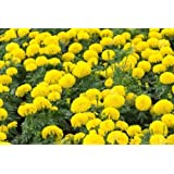Marigold Seeds - Flower Seeds - Imported Pack Of 50 Seeds - Best Hybrid Quality By Seedscare India