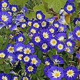 Outsidepride Morning Glory Ensign Royal – 1000 Seeds