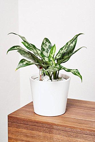 evrgreen kolbenfaden zimmerpflanze in hydrokultur im. Black Bedroom Furniture Sets. Home Design Ideas