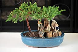 9GreenBox - BONSAI Juniper Tree Zen Garden With Pool Fishman