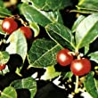 wintergreen essential oil